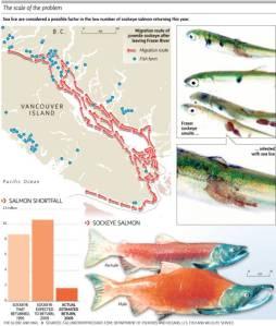salmon_sea_lice__171741artw