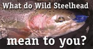 wild-steelhead